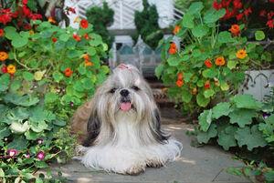 Shih Tzu in garden