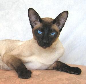 Siamese cat 2
