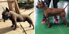 Chongqing dog , chuandong hound