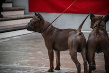 Chongqing dog-0