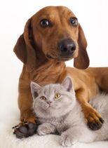 Bigstock-British-kitten-and-dog-dachsh-19453622
