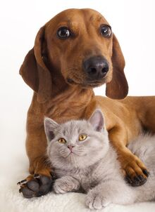 Bigstock-British-kitten-and-dog-dachsh-19453622