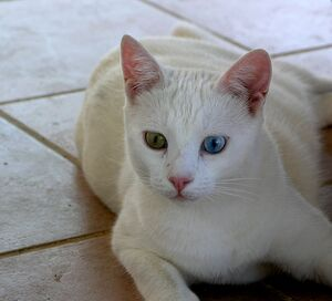 Fabullous Turkish Van cat