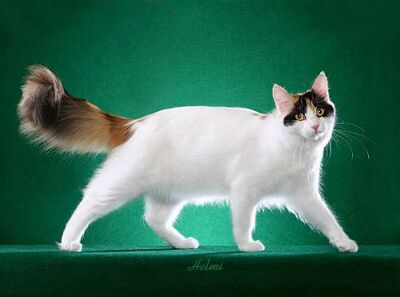 Turkish Van 2