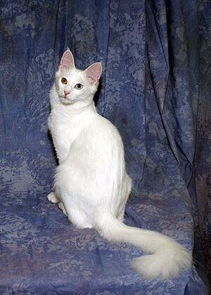 Odd-Eye Turkish Angora