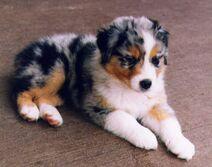 Australian Shepherd puppy (as me)
