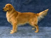 Golden.retriever