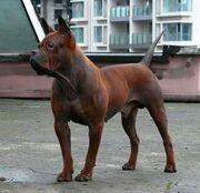 Chinese Chongqing Dog (1)