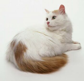 20d1bd4260 Turkish Van. Turkish Van. Turkish Van cat ...