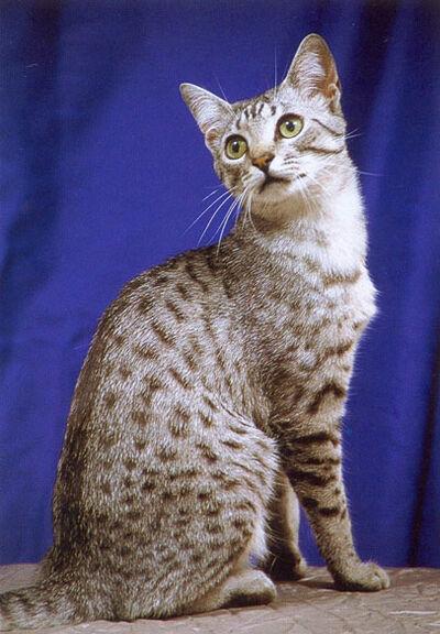 Egyptian Mau Cat 2