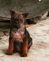 Chongqing dog CQD BTK