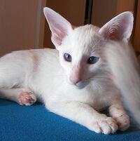Foreign White Siamese