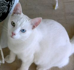 Shorthair Turkish Van