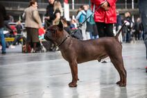 Chinese Chongqing dog