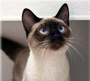 Image - Seal Point Siamese kitten.jpg | Dogs and Cats Wiki | FANDOM powered by Wikia