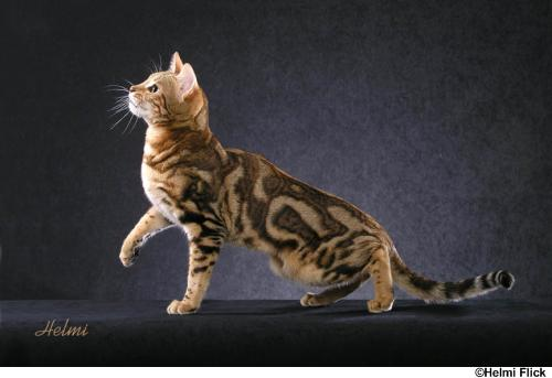 Bengal Dogs And Cats Wiki Fandom Powered By Wikia
