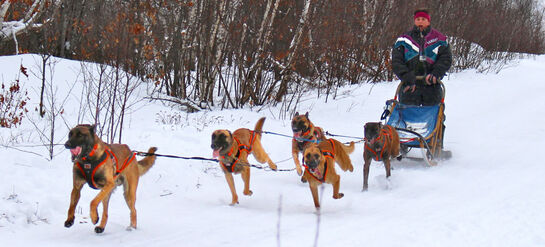Belgian Malinois Team Pulling a Dogsled