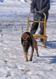Belgian Malinois Pulling a Dogsled