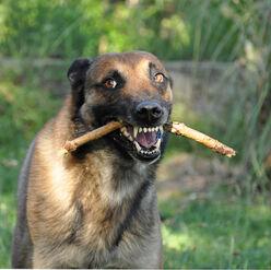 Belgian Malinois Holding a Stick