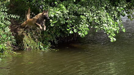 Belgian Malinois Jumping into River