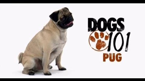 DOGS 101 - Pug ENG