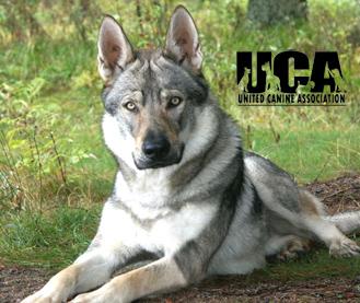File:Wolf dog.jpg