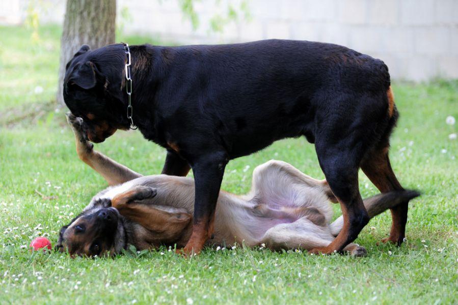 Christchurch Attack Wikipedia: Image - Belgian Malinois Vs Rottweiler.jpg