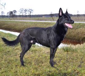 Belgian Malinois - (Black)