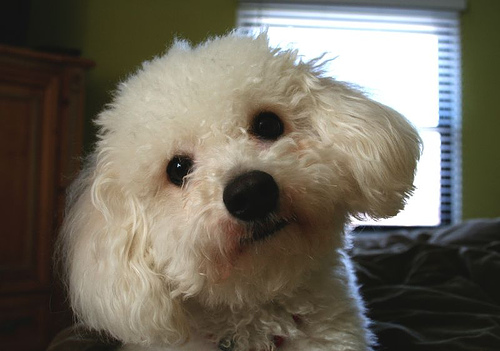 Bichon Frise | Dogs and Puppies Wiki | FANDOM powered by Wikia