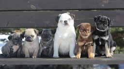 Wierd coloured pugs