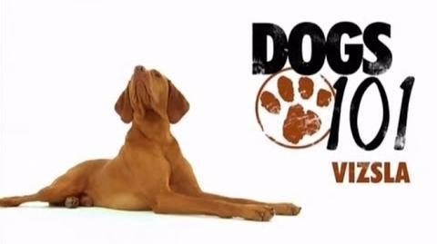DOGS 101 - Vizsla ENG