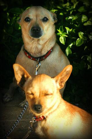 File:Gozitan Chihuahuas.jpg