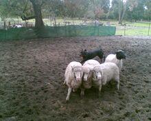 Rottweiler herding sheep 1