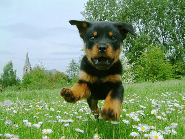 File:Dogs-dogs-puppy-of-rottweiler-is-flying.jpg