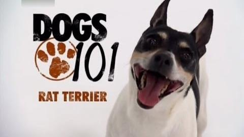DOGS 101 - Rat Terrier ENG