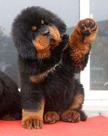 Funny-tibetan-mastiff