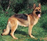 German-Shepherd-muzzle-German-Shepherd