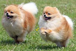 Pomeraniansf3