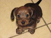 Dorkie-Puppy-Pictures