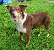 220px-Australian Shepherd rot tricolor