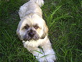 170px-Lhasa Apso shorter hair July 4th 2008 3- PM