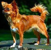 200px-Chihuahua1 bvdb