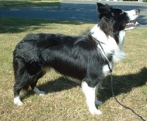 Border Collie 600