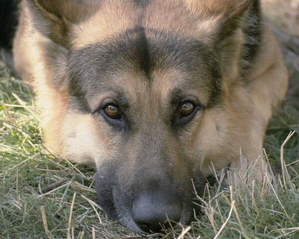 File:Ssgp2608-German Shepherd Dog-face closeup-by Linda Bucklin.jpg