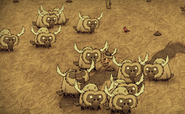 A herd of Beefalos