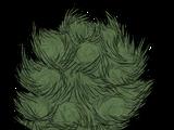 Tree/Birchnut