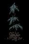 Lumpy Evergreen Sapling