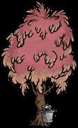 Sugarwood Tree Tapped