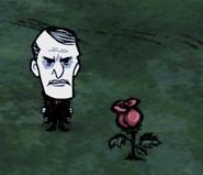 Maxwell rosa