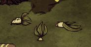 Verschiedene Alraunen